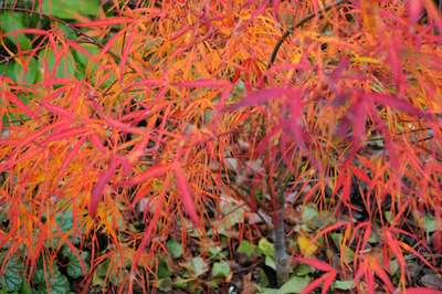 Acer Palmatum Koto No Ito Yellow Bird Garden